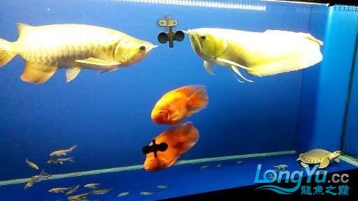 【西安鱼缸市场】尝试混养 西安龙鱼论坛 西安博特第4张