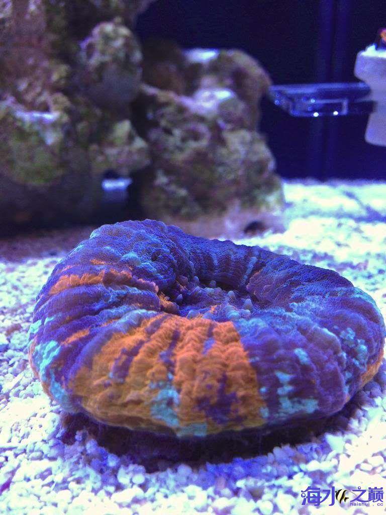 我心中的小苹果糖果脑——我心中的小苹果 昆明水族批发市场 昆明龙鱼第2张