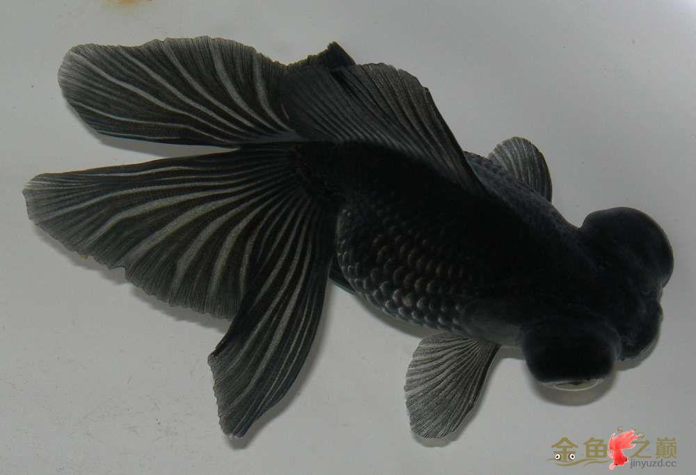 晒晒我家的蝶尾金鱼漆黑漆黑的
