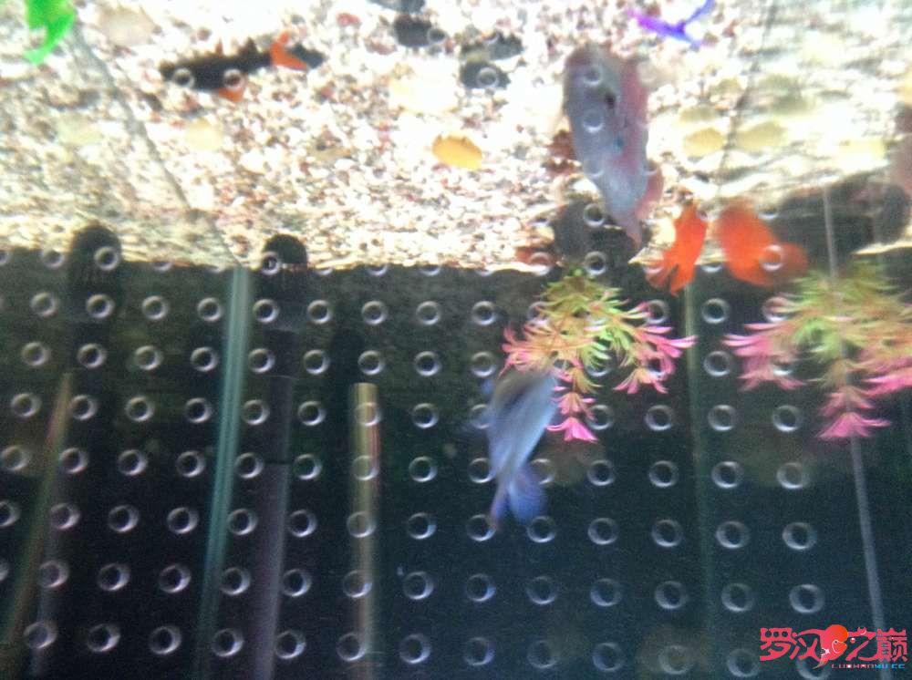 罗汉鱼小如诗淘宝28元买的建档 长沙龙鱼论坛 长沙龙鱼第16张