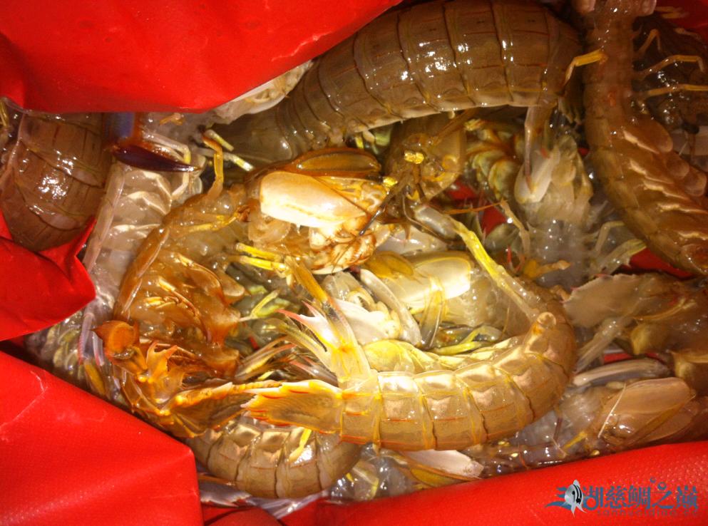 琵琶虾.png