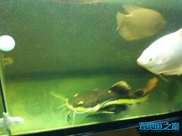 招财猫鱼喜欢吃什么鱼图片