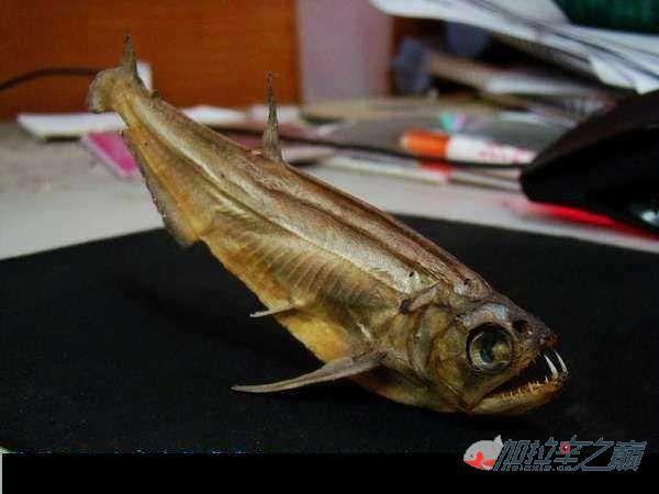 土豹子水虎鱼标本制作之暴牙鱼