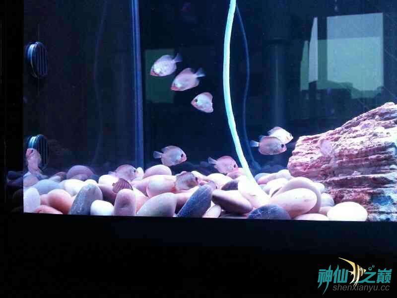 请高手们帮忙分析下鱼儿得的什么病 合肥龙鱼论坛 合肥龙鱼第6张