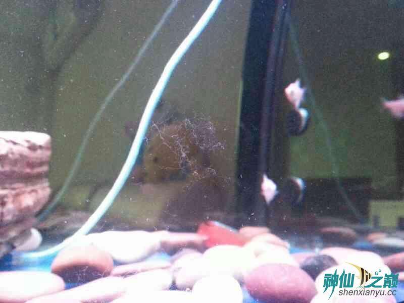 请高手们帮忙分析下鱼儿得的什么病 合肥龙鱼论坛 合肥龙鱼第8张