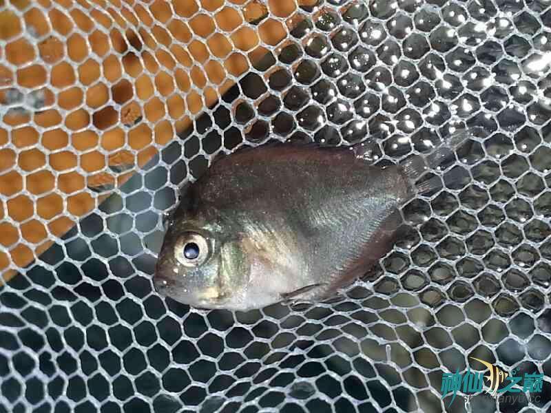 请高手们帮忙分析下鱼儿得的什么病 合肥龙鱼论坛 合肥龙鱼第10张