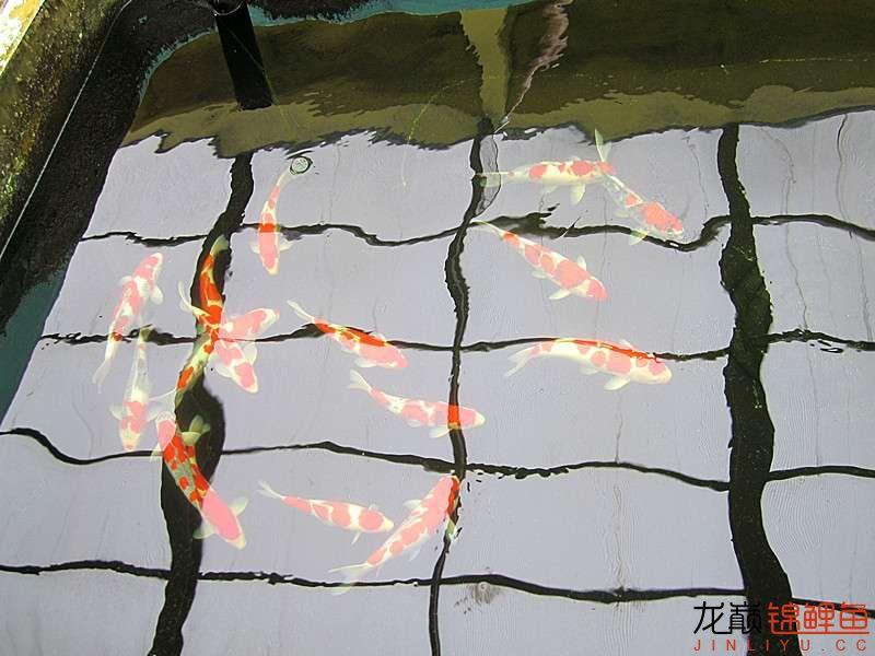一进门,看见一池子红白,昭和,五色等2岁鱼,尺寸在50厘米左右,深深的被吸引。 ...