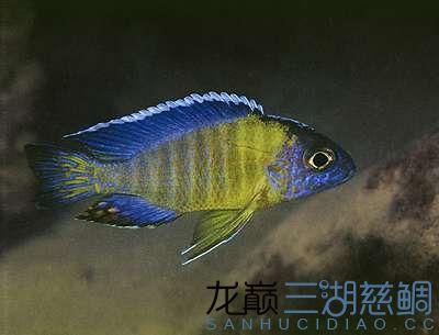 aulonocara_sp_blue_neon_tan_bluegti_diznwkrkd.jpg