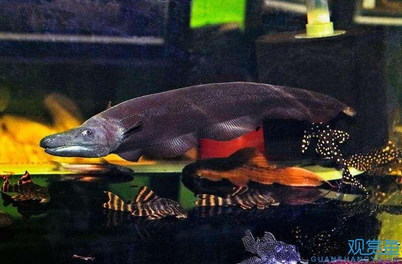 Blackjack knifefish.jpg
