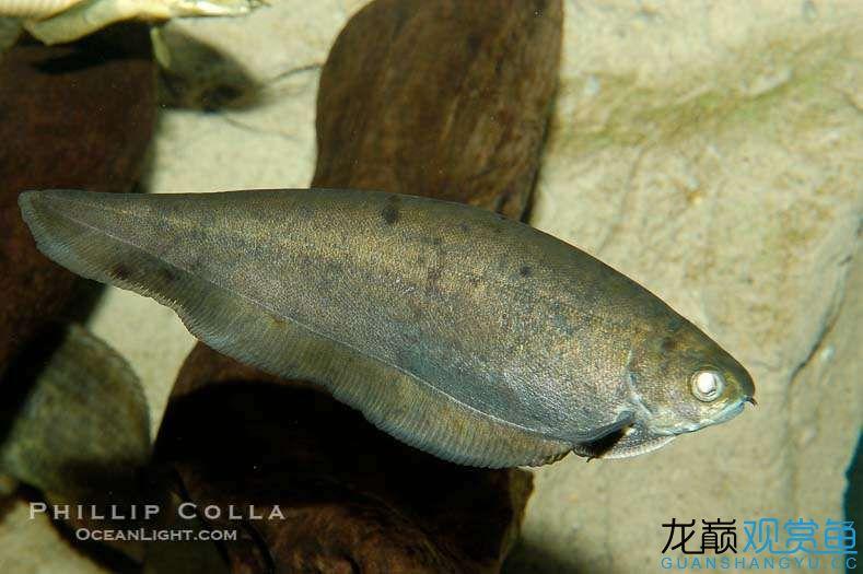 knifefish2.jpg