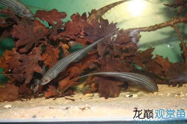 Unknown knifefish.jpg