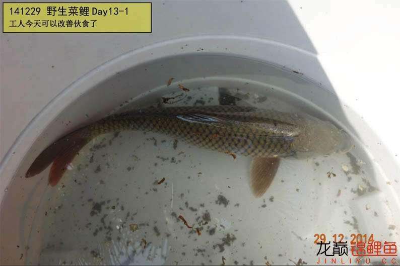 141229 野生菜鲤Day13-1.jpg