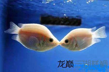 接吻鱼.jpg