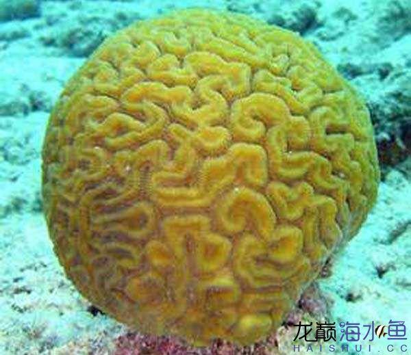 脑珊瑚.jpg