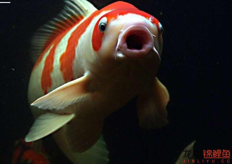 锦鲤鱼.jpg