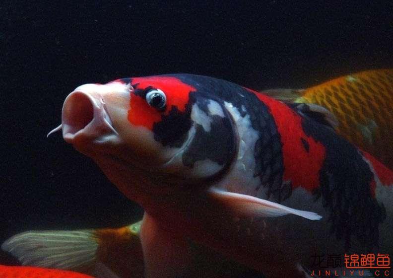 锦鲤鱼1.jpg