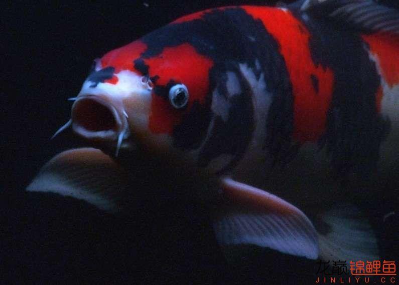 锦鲤鱼3.jpg