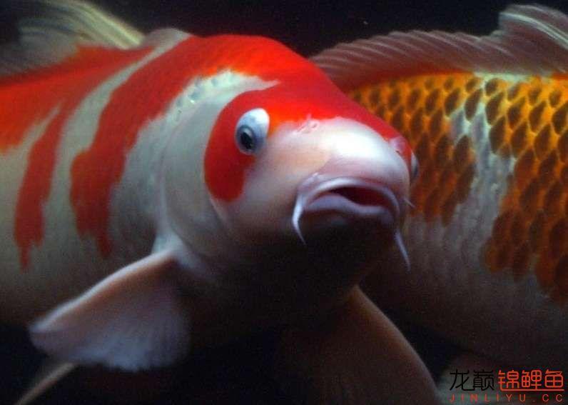 锦鲤鱼4.jpg