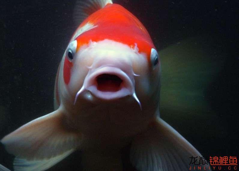 锦鲤鱼5.jpg