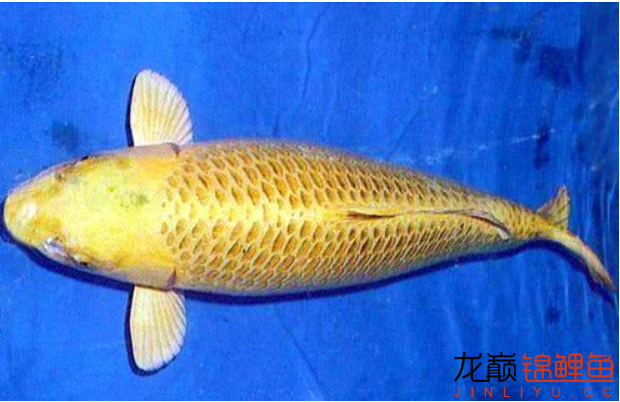 黄金锦鲤.png