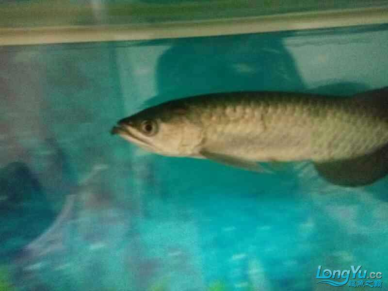 大家帮我长春58同城观赏鱼看看我的龙怎么了 长春观赏鱼 长春龙鱼第4张