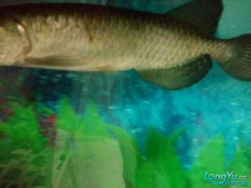大家帮我长春58同城观赏鱼看看我的龙怎么了 长春观赏鱼 长春龙鱼第8张