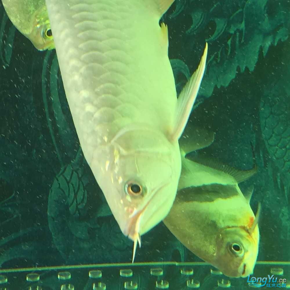 钻石眼一是先天遗传特别的还有一种眼部疾病 观赏鱼常见疾病 南通水族批发市场第3张