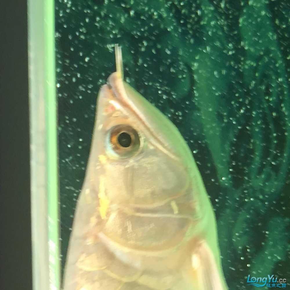 钻石眼一是先天遗传特别的还有一种眼部疾病 观赏鱼常见疾病 南通水族批发市场第5张