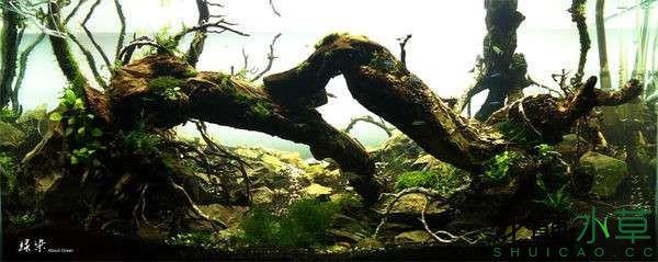 绝美的沉木缸造景令人打开眼界 西安龙鱼论坛 西安博特第3张