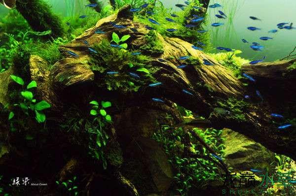 绝美的沉木缸造景令人打开眼界 西安龙鱼论坛 西安博特第7张