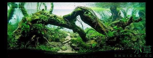 绝美的沉木缸造景令人打开眼界 西安龙鱼论坛 西安博特第9张