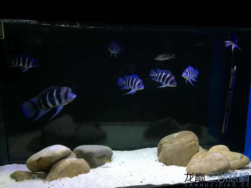 萨伊 乌鲁木齐水族批发市场 乌鲁木齐龙鱼第2张