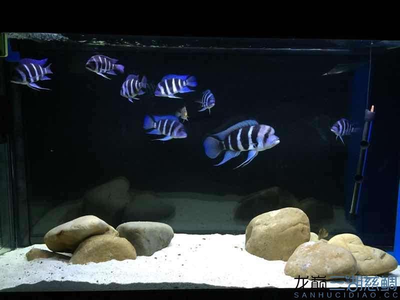 萨伊 乌鲁木齐水族批发市场 乌鲁木齐龙鱼第4张