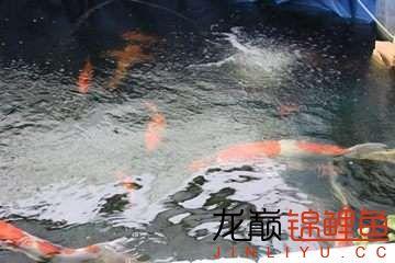 简易鱼池看来养锦鲤也不难 烟台龙鱼论坛 烟台龙鱼第2张
