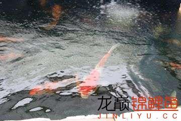 简易鱼池看来养锦鲤也不难 烟台龙鱼论坛 烟台龙鱼第3张