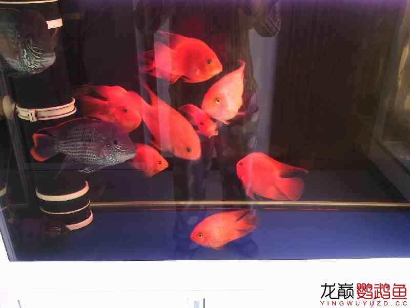 西安鱼缸定制鹦鹉鱼发白