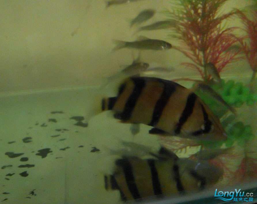 帮我看看这条三纹虎是印尼虎还是泰北虎 深圳龙鱼论坛 深圳龙鱼第3张