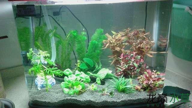 【合肥玫瑰银板鱼怎么养】请教红色水草品种和绿色像葱一样的是什么草?