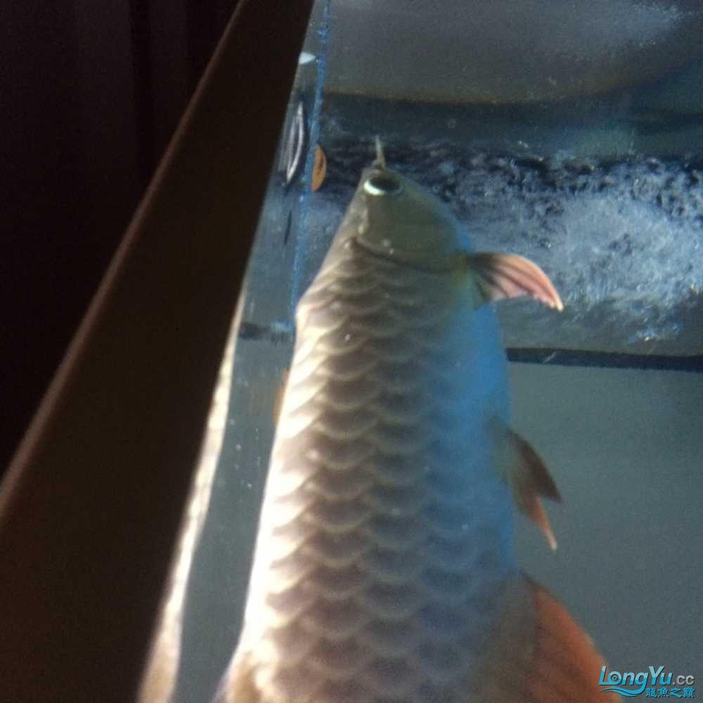 把鳞片拔掉吧==鱼友评论== 观赏鱼常见疾病 南通水族批发市场第1张