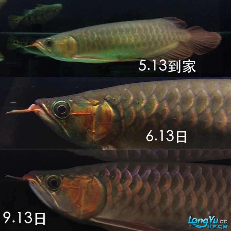 论龙鱼的自我蜕变完美变身 天津龙鱼论坛 天津龙鱼第10张