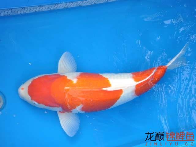 高背二段红白 沈阳龙鱼论坛 沈阳龙鱼第4张
