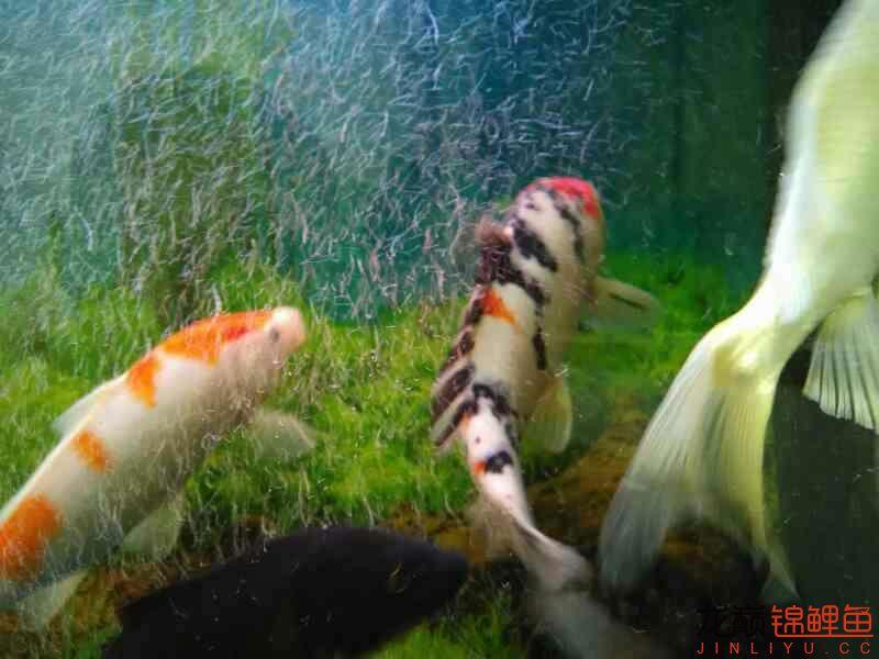 新进的鱼怎么样,求大师指点?