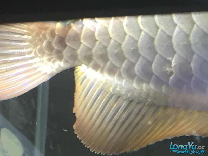请大神看看。这鳞片怎么了 深圳观赏鱼 深圳龙鱼第3张