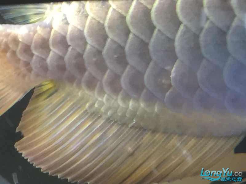 请大神看看。这鳞片怎么了 深圳观赏鱼 深圳龙鱼第4张