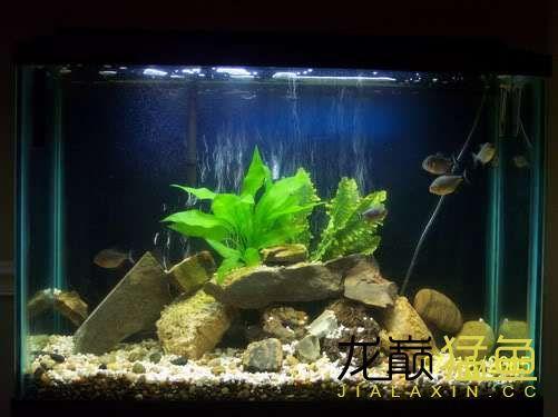 【深圳斑马鱼】哪种水虎缸造景好看? 深圳观赏鱼 深圳龙鱼第1张