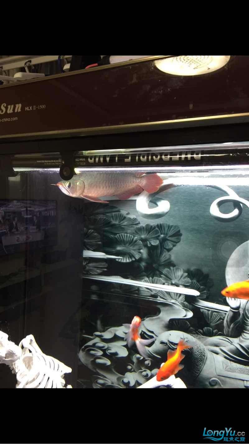 看看小红龙是不是生病了 太原观赏鱼 太原龙鱼第1张