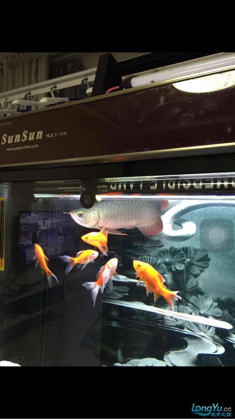 看看小红龙是不是生病了 太原观赏鱼 太原龙鱼第2张