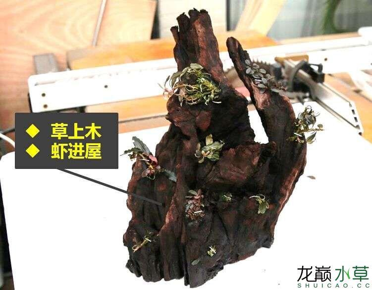 沉木制作辣椒和虾共同的家园 贵阳龙鱼论坛 贵阳龙鱼第11张