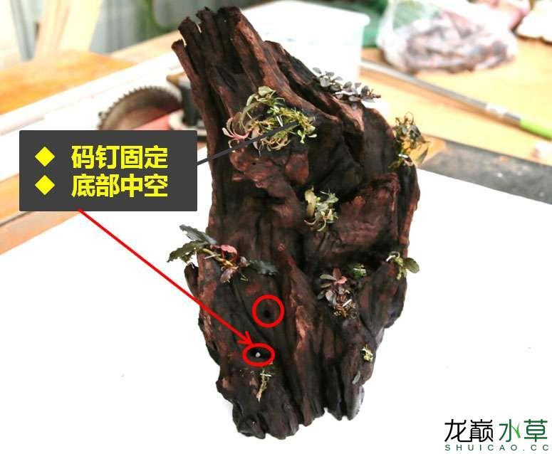 沉木制作辣椒和虾共同的家园 贵阳龙鱼论坛 贵阳龙鱼第12张