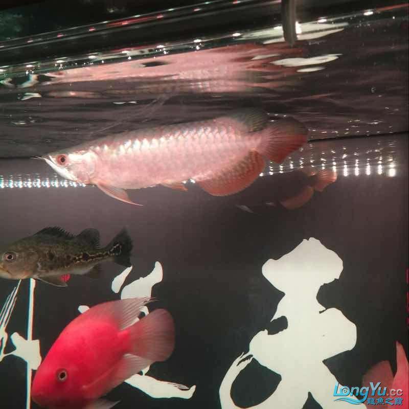 未命名 哈尔滨水族批发市场 哈尔滨龙鱼第5张